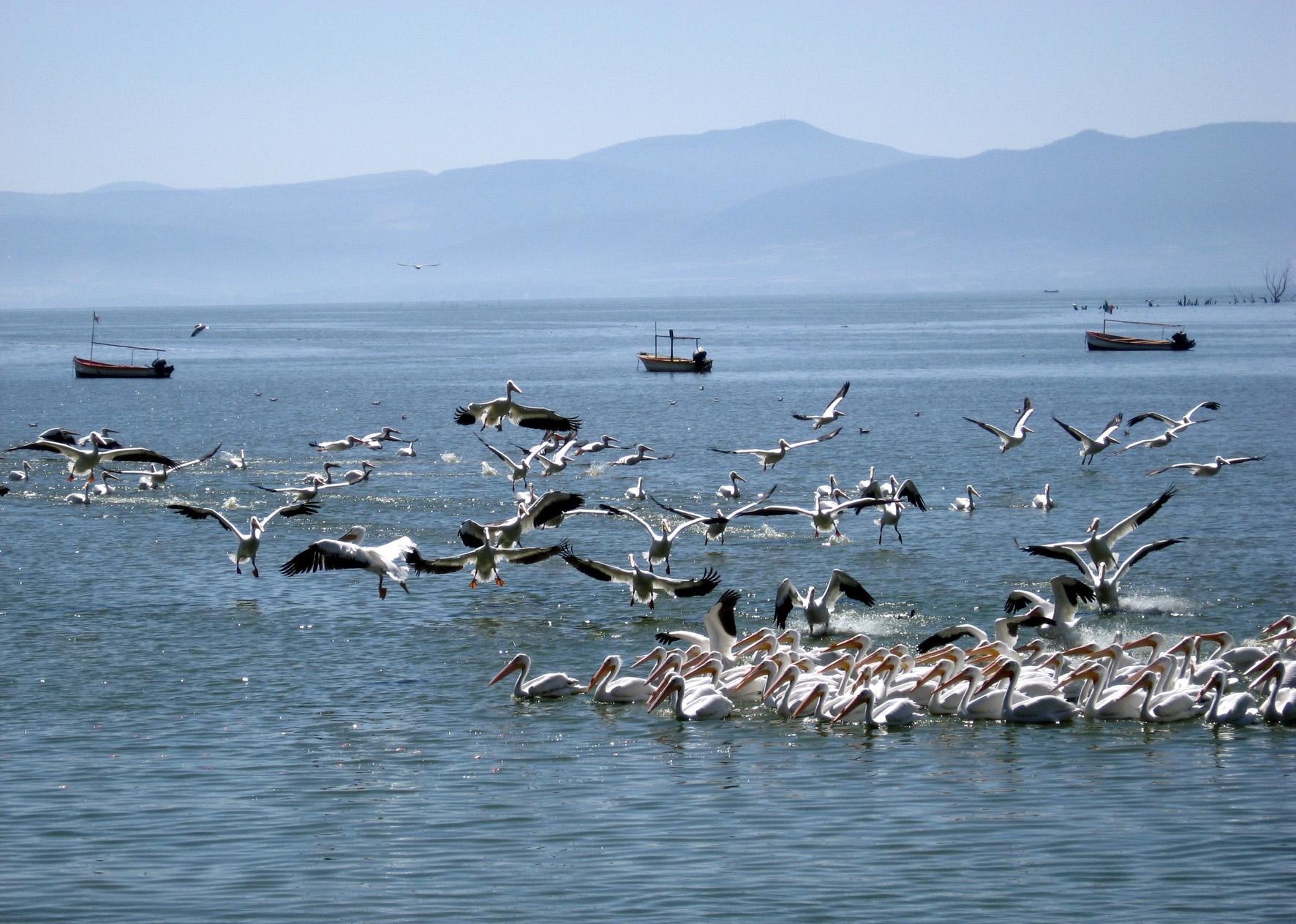 Una parvada de pelícanos descansa y vuelan en el Lago de Chapala
